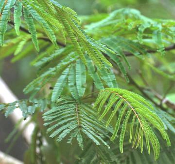 Climbing Wattle Acacia