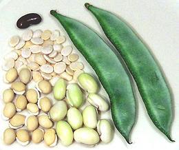 12 semi Vegetale-Fagioli HYACINTH-Dolichos-Lab Lab