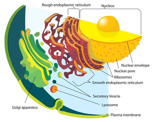 Enlarged Eukaryote Cells
