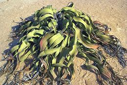 Seed Ferns, Cycads, Ginkgos, etc