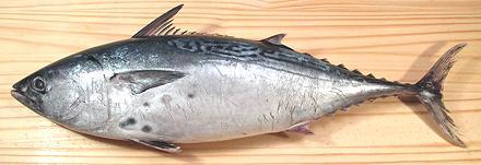 Bonito / Tongol Tuna