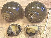 Culinary Snails